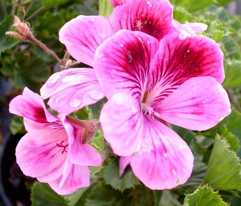 Kvet geránia
