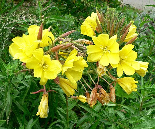 Kvet pupalky