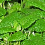 Medovka – prírodný všeliek s citrónovou vôňou II.