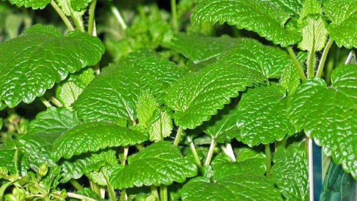 Medovka - prírodný všeliek s citrónovou vôňou II.